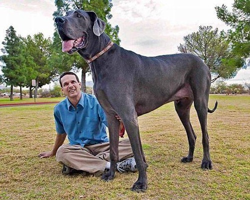 Giant George - Tallest Dog