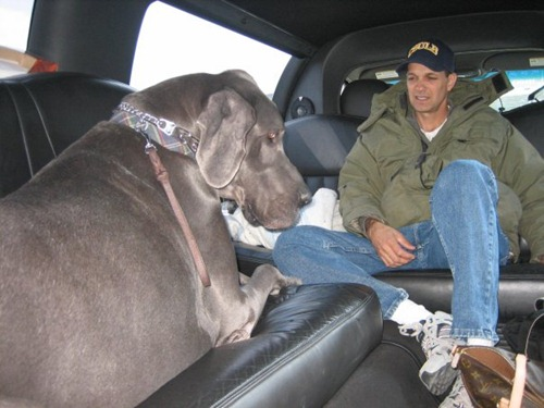 Giant George - World's Tallest Dog