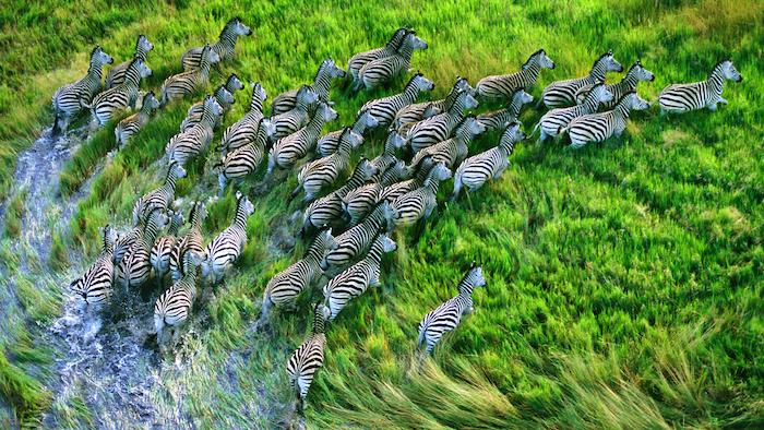 apple zebra wallpapers from new retina macbook pro